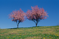 Two blooming crabapple trees heavy with flowers stand together in an open meadow on top of a hill