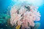 Misool, Raja Ampat, Indonesia; Daram area, a school of Regal Demoiselle fish swimming around a large pink gorgonian sea fan