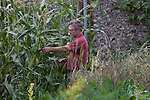 John Letts, Heritage  grains<br /> <br /> A stand of popcorn . John is experimenting with unusual crops . Climate change is allowing varieties of crops to prosper in the UK , where they didn't before .
