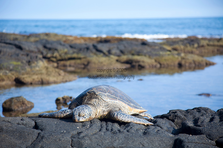 The Four Seasons Resort Hualalai at Historic Kaupulehu on the Big Island of Hawaii. A sandy beach, tide pools and ancient fish ponds make the beach a very diverse environment. Guests will often find Hawaiian Green Sea Turtles basking on the beach.