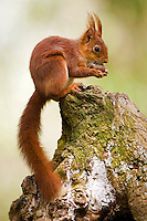 Red Squirrel (Sciurus vulgaris) eating a Hazelnut, Normandy, France