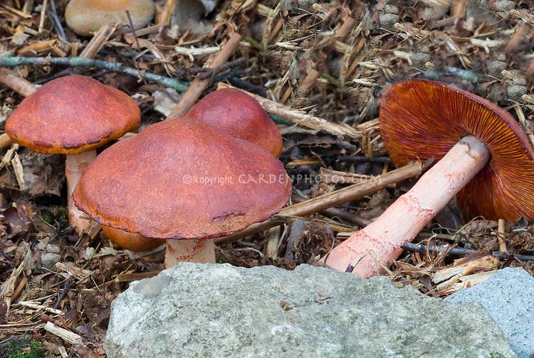 Mushroom Cortinarius armillatus Fungi
