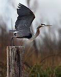 A blue heron flies off a post in the Delta not far from Antioch, California.