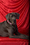 Great Dane <br /> <br /> <br /> Shopping Cart has 3 Tabs:<br /> <br /> 1) Rights-Managed downloads for Commercial Use<br /> <br /> 2) Print sizes from wallet to 20x30<br /> <br /> 3) Merchandise items like T-shirts and refrigerator magnets