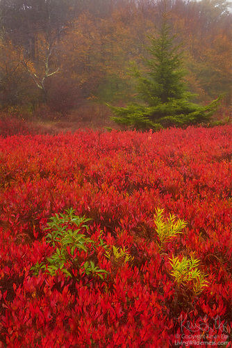 Autumn Color, Rohrbaugh Plains, Dolly Sods Wilderness, West Virginia