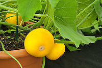 Courgette Zucchini 'One Ball' round yellow unusual summer squash vegetable shape in pot (Curcurbita pepo)