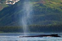 Humpback whales, Montague Island, Montague straits, Prince William Sound, Alaska