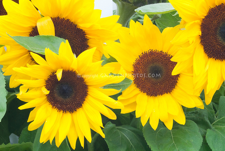 Sunflowers Helianthus annuus