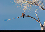 Bald Eagle Molting 2nd Year Juvenile, Bosque del Apache Wildlife Refuge, New Mexico