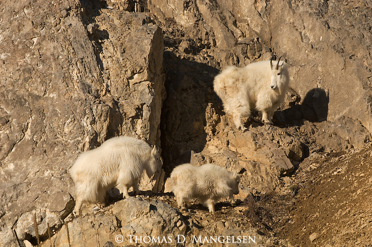 Two adult mountain goats and a kid climb cliffs in Wyoming.