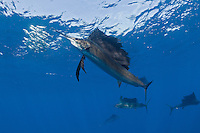 RG42624-D. Atlantic Sailfish (Istiophorus albicans) feeding on Spanish sardines (Sardinella aurita). Gulf of Mexico, Mexico, Caribbean Sea.<br /> Photo Copyright &copy; Brandon Cole. All rights reserved worldwide.  www.brandoncole.com