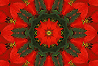 Red Poinsettia floral mandala.