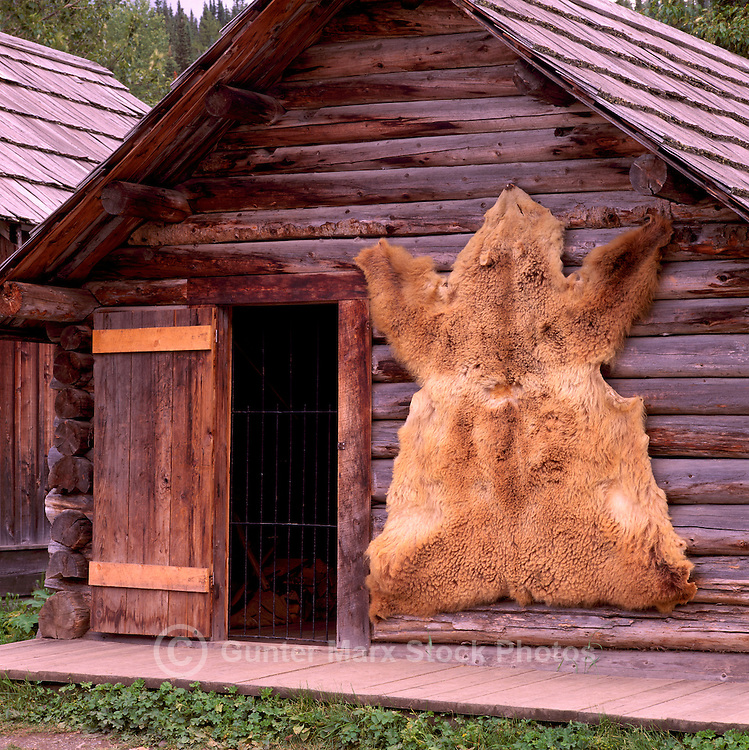 Barkerville, a Restored Historic Gold Rush Town in the Cariboo Region, BC, British Columbia, Canada - Bear Skin hanging on Old Log House