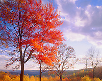 Sugar Maple at Sunset, Alleghany State Park, Appalachian Mountains, New York   Acer saccharum