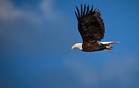Bald Eagle in flight with wings up