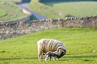 Sheep nursing her lamb, Chedworth, Gloucestershire, United Kingdom