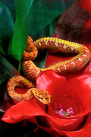 489184018 a captive brilliantly patterned eyelash viper bothreichis schlegalii crawls across a flowering bromilead plant - species is native to southern mexico central america and south america