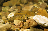 Logperch<br />