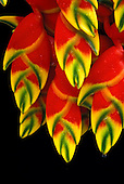 Close-up of Heliconia rostrata (pendant) against a background of black