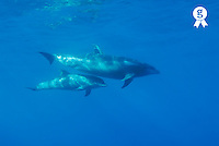 Wild Bottle-nosed dolphin (Tursiops truncatus) mother and calf, underwater view (Licence this image exclusively with Getty: http://www.gettyimages.com/detail/73013996 )
