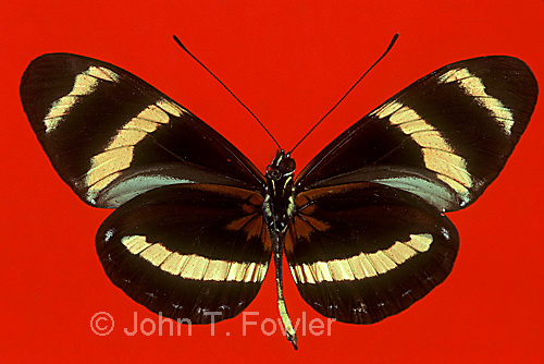 Tropical butterfly Heliconius pachimus