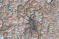 Schusterbock, Einfarbiger Fichtenbock, Einfarbige Langhornbock, Monochamus sutor, small white marmorated longhorn beetle, small white-marmorated longhorn beetle, Monochame