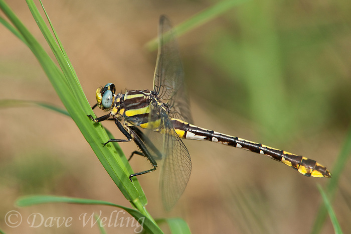 334070014 a wild female plains clubtail dragonfly gomphus externus perches on a grass stem at hornsby bend travis county texas