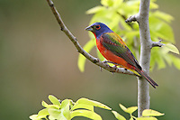 The Painted Bunting (Passerina ciris) is a nesting bird of much of the south central U.S. including Texas, Oklahoma, Arkansas and Louisiana.