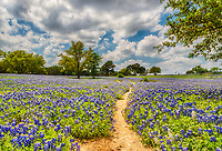 We loved this trail through the field of endless bluebonnets on this Texas Hill Country ranch the path seem to meander throughout this great field of flowers.