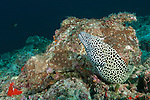 Devana Kandu, Felidhoo Atoll, Maldives; a Blackspotted Moray (Gymnothorax favaineus) eel emerging from beneath the rocky reef, also known as a Honeycomb Moray