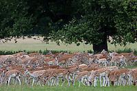 Holkham, Norfolk, England, 04/08/2009..Deer on Holkham Hall estate.