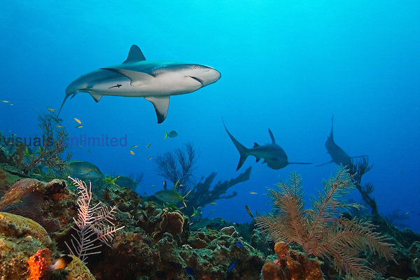 Caribbean Reef Sharks, Carcharhinus perezi, over coral reef, West End, Grand Bahamas, Atlantic Ocean.