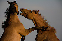 Young studs test each other building confidence to challenge other wild stallions for mares.