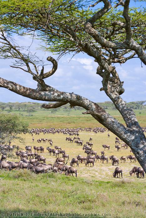 White-bearded Gnu, or Wildebeast, Serengeti National Park, Tanzania, East Africa