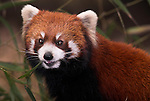 Lesser or Red Panda, Airurus Fulgens, feeding on bamboo, Chengdu Panda Breeding and Research Center, Sichuan (Szechwan) Province Central China, mainly nocturnal and solitary, has partly retractable claws and climbs well, reserve, captive, captivity, asia, asian, chinese, fur, furry, pandas, patterns, omnivores,.China....