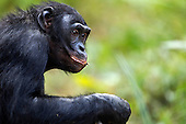 Bonobo mature male aged 17 years portrait (Pan paniscus), Lola Ya Bonobo Sanctuary, Democratic Republic of Congo.