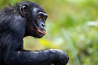 Bonobo mature male aged 17 years portrait (Pan paniscus), Lola Ya Bonobo Sanctuary, Democratic Republic of Congo.