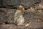 Monkey Eating orange, side view