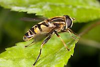 Flower Fly (Helophilus fasciatus) resting on a leaf, West Harrison, Westchester County, New York