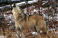Howling Timber Wolf  #Z4