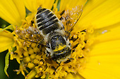 Little Leaf-cutter Bee (Megachile brevis) on Maximilian sunflower (Helianthus maximiliani), Lexington Wildlife Management Area, Oklahoma, USA