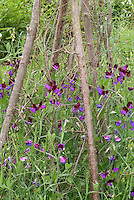 Sweetpeas Cupani aka Matucana Lathyrus odoratus sweet pea flowers bicolored climbing annual flowering heirloom climbing vine staked on pole trellis