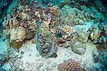 Hawksbill sea turtle-Tortue imbriquée (Eretmochelys imbricata), Red Sea, Sudan