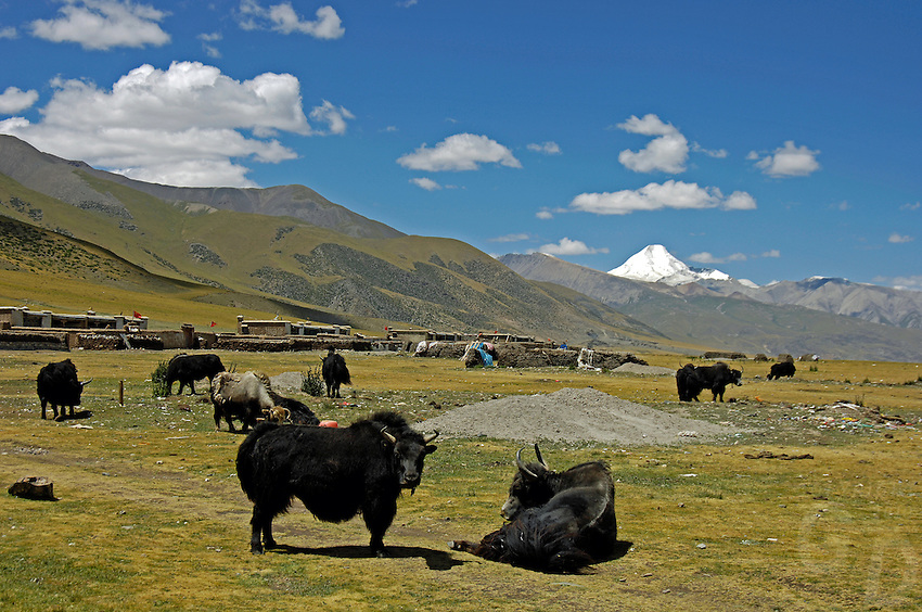 Tibetan nomads taken a rest with their Yaks on the Tibetan Plateau, the average elevation exceeding 4,500 metres (14,800 ft), the Tibetan Plateau is sometimes called &quot;the Roof of the World&quot; and is the world's highest and largest plateau. China<br /> Domesticated yaks have been kept for thousands of years, primarily for their milk, fibre and meat, and as beasts of burden. Their dried droppings are an important fuel, used all over Tibet, and are often the only fuel available on the high treeless Tibetan Plateau