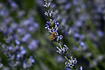 Bee pollinating the lavender flowers
