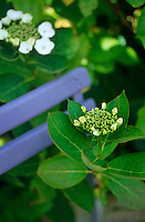 An Hydrangea macrophylla 'White Lace Cap' growing around a blue-painted garden chair