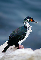 Rock Shag bird, Sea Lion Island, Falkland Islands