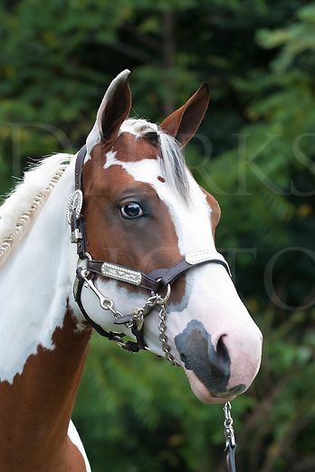 Paint horse head shot of a beautiful yearling in silver decorative halter, cleaned up for a show event.