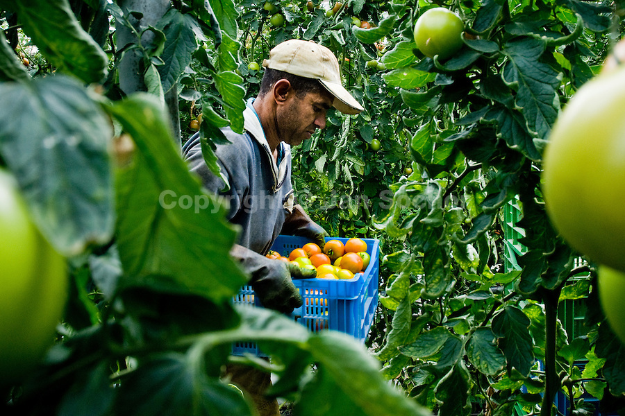 A Moroccan immigrant works in the greenhouse in El Ejido, Spain, 22 May 2007. El Ejido, a dry region on the coast of Andalusia, has changed during the last decades into the centre of vegetable production not only for the Spanish market. A half of Europe is supplied by tomatoes, peppers and melons from El Ejido. This economic miracle is from a major part based on a cheap labor force of illegal immigrants from Maghreb and Subsaharian Africa. Tens of thousands of workers keep the plastic sea of greenhouses running for the minimum wage of 30 Euros a day.