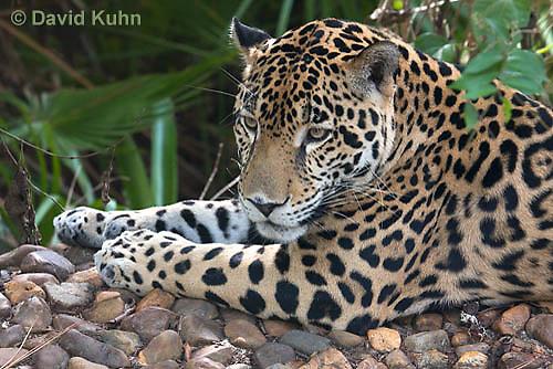 0615-1108  Jaguar, Belize, Panthera onca  © David Kuhn/Dwight Kuhn Photography